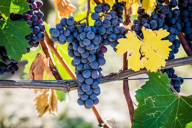 Winogrona (czerwone, zielone) - kalorie, kcal, ile waży