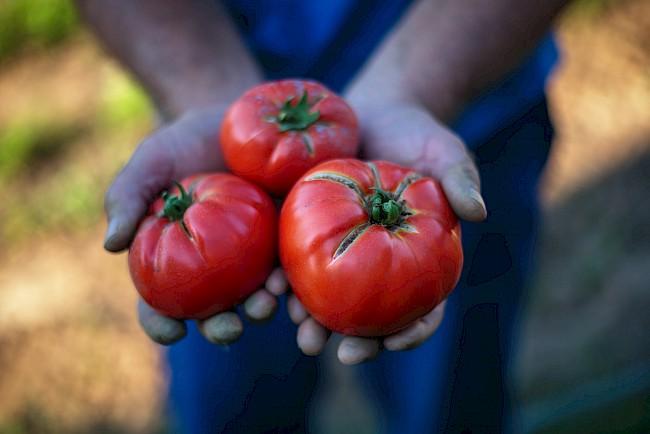 Pomidor - kalorie, kcal, ile waży